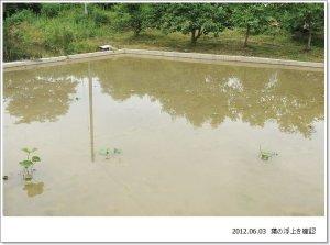画像3: Dry plants for decor デコール用乾燥花托(蓮)栽培の様子