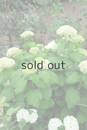 2015年6月「アナベル」開花時の様子。