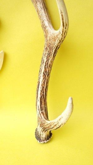 画像2: デコール用二ホンジカの角