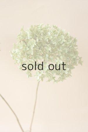 画像2: ●無くなり次第終了200円見切り売り!●Dry plants for decor デコール用乾燥紫陽花(アナベル・小)2018年度開花分アウトレット