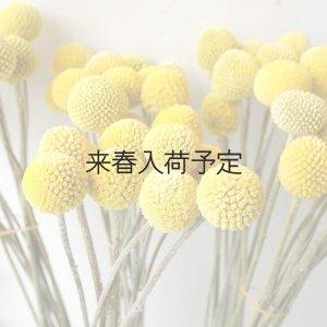 画像1: Dry plants for decor クラスペディア グロボーサ・ゴールドスティック