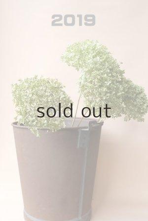 画像1: Dry plants for decor デコール用乾燥紫陽花(アナベル・中)2019年度開花分