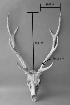 画像4: デコール用二ホンジカの角